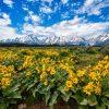 Grand Teton National Park Wildflowers