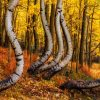 Curved Aspen Trees