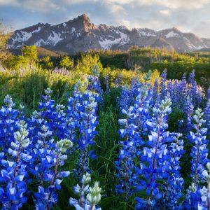 Dallas Divide Wildflowers
